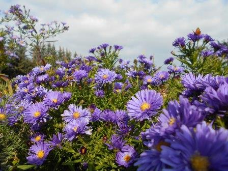 aster_web